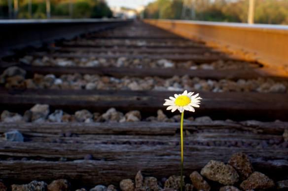 daisy-on-railroad-track.jpg.1145x0_q71_crop-scale (1)